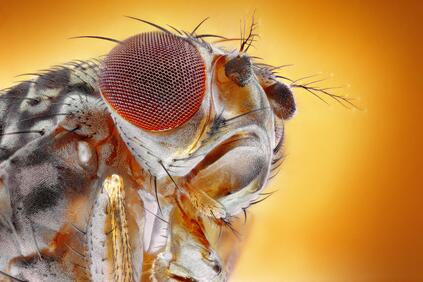 Close up fruit fly